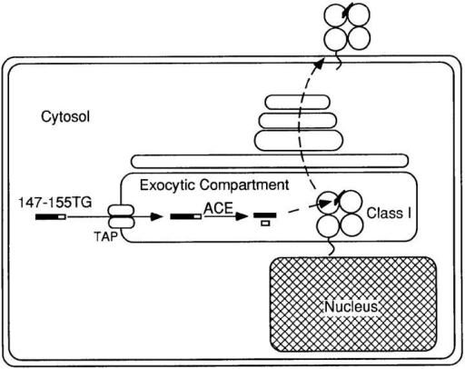 Schematic diagram  of transport-dependent ACE-mediated processing in the exocytic compartment.
