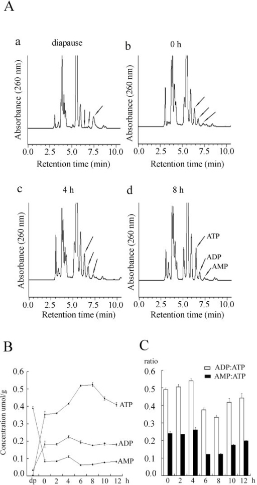 Cellular ATP, ADP, and AMP were determined by HPLC analysis. A. HPLC chromatogram of ATP, ADP, and AMP from Artemia diapause embryos (a) and embryos at three representative developing stages (0, 4, and 8 h, b-d). Arrows indicate peaks of ATP, ADP, and AMP. B. Concentrations of cellular ATP, ADP, and AMP in embryos at different developmental stages were determined by an external standard method. dp, diapause embryos. C. Changes of ADP:ATP (white columns) and AMP:ATP (black columns) ratios in developing embryos.