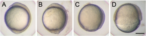 Knockdown of cfl1 causes epiboly defects.Embryos were injected with or without cfl1 MO and photographed at 10 h post-fertilization (hpf). The cfl1 MO caused epiboly defects of different severities. (A) A sham-injected embryo reached 100% epiboly. (B) A cfl1 morphant with a malformed tail bud. (C) A cfl1 morphant that reached 90% epiboly. (D) A cfl1 morphant that reached 50% epiboly. Scale bar, 200 µm.