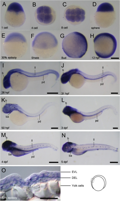 Spatial and temporal expression of cfl1 during embryogenesis.(A–N) Representative whole-mount in situ hybridization photographs are shown to reveal the expression patterns of cfl1 at the designated stages from 1-cell to 5 day post-fertilization (dpf) as denoted at the lower left corner of each panel. (O) A representative cryo-section photograph of an embryo at the 70% epiboly stage underwent WISH against cfl1. The cryo-section was taken from the box region as depicted in the embryo carton shown on the right. b, brain; ba, bronchial arches; ll, lateral line system; pd, pronephric duct; pa, pharyngeal arches; EVL, enveloping layer; DEL, deep cell layer. Scale bars: 400 µm for the 4- and 5-dpf embryos, 200 µm for the others and 50 µm for the cryo-section photograph.