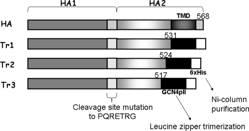 HA protein constructs.Vectors encoding three truncated forms of soluble trimeric HA (Tr1, Tr2, Tr3) were constructed using the baculovirus expression vector pFastBac 1. In these constructs, the polybasic cleavage site between HA1 and HA2 was changed from PQRRRKKRG to PQTRG to prevent cleavages. Transmembrane and cytoplasmic domains at the C terminus of full-length HA were deleted and replaced with a leucine zipper GCN4-pII sequence (MKQIEDKIEEILSKIYHIENEIARIKKLIGEV) for trimerization. An His-tag was added for purification.