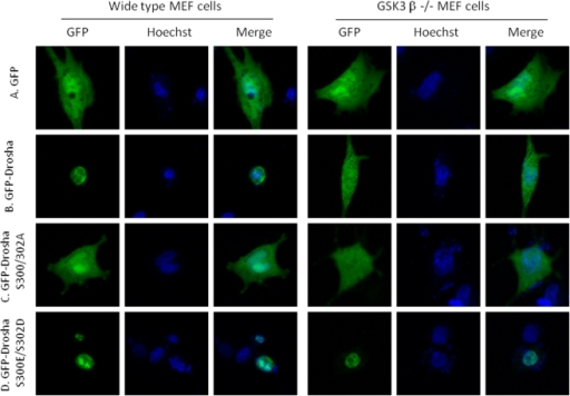 Phosphorylated Drosha localizes in the nucleus.A. GFP vector alone, showing diffuse expression pattern in both GSK3β wt and knockout MEF cells; B. GFP-Drosha localizes in the nuclei in GSK3β wt MEF cells but shows a diffuse expression pattern in GSK3β knockout MEF cells; C. Phosphorylation-deficient GFP-DroshaS300A/S302A diffusely expresses in both GSK3β wt and knockout MEF cells; D. Phosphorylation mimetic GFP-Drosha S300E/S302D localizes in the nuclei in both GSK3β wt and knockout MEF cells.