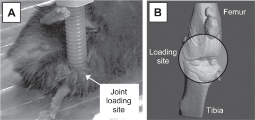 Joint loading. A) Experimental setup for knee loading using a mouse. B) Schematic illustration of knee loading.