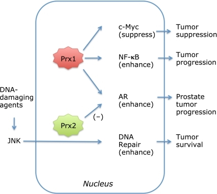 Roles of nuclear Prx1 and Prx2. Prx1 is localized in both the cytoplasm and nucleus and interacts directly with the transcription factors, c-Myc,(56) NF-κB(22,59) and AR.(24) Prx1 suppress c-Myc,(23,56) whereas it enhances activities of p50(22) and p65(59) components of NF-κB and helps activation/phosphorylation of AR.(24) Prx2 is also localized in the nucleus and enhances JNK signaling induced by anticancer/DNA-damaging agent resulting in DNA-repair and tumor survival.(53) Cytoplasmic Prx2 increases AR transactivation, whereas nuclear Prx2 suppresses AR transactivation.
