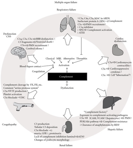 Summarizing illustration on the effects of excessive complement activation on various organ systems and the development of organ failure. For details see text. MBL: mannose-binding lectin, CNS: central nervous system, BBB: blood brain barrier, PMN: polymorphonuclear neutrophils, ARDS: acute respiratory distress syndrome, ATIII: antithrombin III, RES: reticuloendothelial system, GFR: glomerular filtration rate, ATN: acute tubular necrosis, FX: coagulation factor X, FII: coagulation factor II, TF: tissue factor, DIC: disseminated intravascular coagulation.