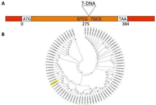 Schematical representation of the SAUR76 gene and its relationship to other members of the SAUR-family.A) Linear representation of the SAUR76 gene, including the insertion position of the T-DNA in the knock-out line. Red: UTR; orange: exon; ATG: start codon; TAA: stop codon. B) Phylogenetic tree of the Arabidopsis SAUR-family including SAUR-like proteins.