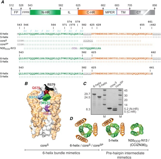 Engineered mimetics of the pre-hairpin intermediate and post-fusion six-helix bundle of HIV-1 gp41.(A) Domain organization of HIV-1 gp41 and sequences of the six-helix bundle (6-helix, coreS and coreSP) and pre-hairpin (5-helix and N35CCG-N13) mimetics. (FP, fusion protein; FPPR, fusion peptide proximal region; N-HR, N-heptad repeat; IL, immune-dominant linker; C-HR, C-heptad repeat; MPER, membrane proximal external region; TM, transmembrane region; CT, intraviral C-terminal domain.) Three N35CCG-N13 chains are linked covalently via intermolecular disulfide bridges (CCG, shown in purple) to form a stable helical trimer [19]. N-HR, C-HR and linker residues are shown in green, orange and black (underlined), respectively. Numbering of N-HR and C-HR regions is according to their location in Env from HIV-1 (strain HXB2). Positions in the helical wheel (blue italic) of N-HR residues that are solvent accessible in the six-helix bundle conformation are indicated. (B) Interactions of Fab8066 with N-HR residues in the context of the six-helix bundle construct coreS mapped by Ala scanning mutagenesis and immunoblotting [22]. The coreS trimer is shown as a surface representation with N-HR and C-HR regions of gp41 in white and light orange, respectively. N-HR surface accessible residues (H564, W571, K574 and Q575) identified as sites of interaction with Fab8066 are shown in distinct colors. (C) Relative migration on SDS-PAGE of the gp41 mimetics used in this study. Molecular weights of constructs and markers (M) are indicated in kDa. N-HR and C-HR denote peptides which assemble to form the six-helix bundle conformation of coreSP. (D) Ribbon representations of the gp41 constructs. 5-helix, CCIZN36 and N35CCG-N13 are pre-hairpin intermediate mimetics with one or more exposed N-HR helices, that are otherwise partially shielded in the six-helix bundle. The three N-HR peptide chains in N35CCG-N13 and CCIZN36 are stabilized as disulfide-linked trimers by fusion with either a 13-residue repeat of the N-HR [19] or an N-terminal isoleucine zipper segment [37], respectively. 6-helix and 5-helix are single chain polypeptides with the N-HR (N) and C-HR (C) regions connected by a six-residue linker in the order N-C-N-C-N-C and N-C-N-C-N, respectively [18]. CoreS and coreSP also form a six-helix bundle but as a trimer consisting of 3 hairpin (N-linker-C) peptides and a hexamer consisting of 3 N-HR and 3 C-HR peptides, respectively (see panel A).