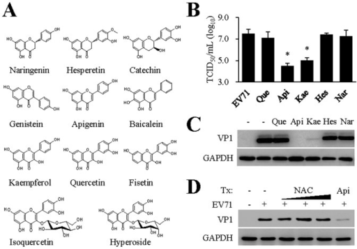 Antiviral activity evaluation of flavonoids against EV71 infection. (A) Names and chemical structures of flavonoids tested in this study.The compounds were evaluated for their antiviral activity against EV71 infection. Apigenin and kaempferol were the only compounds that showed antiviral activity at 30 µM concentration. (B, C) Confirmation of kaempferol antiviral activity by titration for infectious virion production (B) and viral VP1 protein expression (C). RD cells were untreated or pretreated with kaempferol along with apigenin, naringenin and hesperetin at 30 µM for 2 hr and then infected with EV71 (MOI = 0.10) for 36 hr. Infectious virion production was titrated using a secondary infection assay (B) and VP1 expression was detected by immunoblotting (C). Que: quercetin; Api: apigenin; Kae: kaempferol; Hes: hesperetin; Nar: naringenin. GAPDH expression was used as a loading control. Both studies were performed twice independently. Data are presented as mean ± SD of triplicate samples. An unpaired t test was performed for statistical analysis. *: p≤0.05. (D) Anti-oxidative agent N-acetyl cysteine (NAC) treatment does not affect EV71 infection. RD cells were untreated or pretreated with NAC at varying concentrations (1, 3, and 10 mM) or apigenin at 30 µM for 2 hr. The cells were then infected with EV71 (MOI = 0.10 TCID50 per cell) for 36 hr. EV71 VP1 protein expression were determined by immunoblotting analysis. The experiment was performed twice independently. GAPDH was used as a loading control.