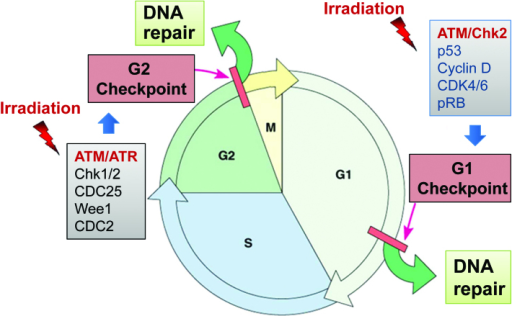 Irradiation induces G1 and G2 cell cycle checkpoint act | Open-i