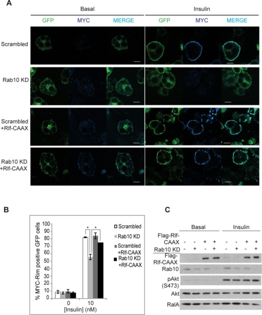 Rab10 acts on RalA through Rlf in 3T3-L1 adipocytes. (A) 3T3-L1 adipocytes stably expressing Myc-Glut4-eGFP were electroporated with scrambled or Rab10 siRNA with or without FLAG-Rlf-CAAX. Two days later, cells were starved and treated with or without 10 nM insulin for 15 min. Nonpermeabilized cells were fixed and immunostained with anti-Myc antibodies. GFP indicates total Glut4 levels, and Myc staining in the rim (blue) represents presence or absence of Glut4 at the plasma membrane. Bar, 10 μm. (B) Percentage of cells that show Glut4 translocation upon insulin stimulation under various conditions in A was calculated by counting at least 100 cells in three independent experiments. *p < 0.05. (C) Knockdown efficiency and level of ectopically expressed FLAG-Rlf-CAAX in A are shown using Western blots. Insulin signaling was unaffected as detected by immunoblotting for pAkt (S473).