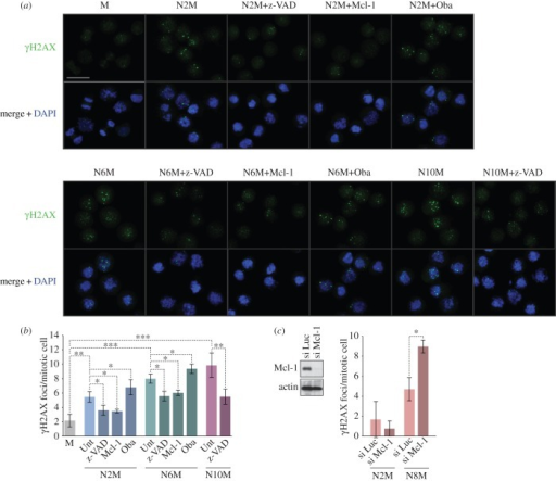 Mitotic arrest elicits a localized caspase-dependent DNA damage response under the control of Bcl-2 family proteins. Cells were synchronized in prolonged mitosis for different times (N2M, N6M, N10M) and compared with untreated mitotic cells (M). Some cells were co-treated with the pan-caspase inhibitor z-VAD-fmk (20 µM) or the Mcl-1/Bcl-2/Bcl-xL inhibitor Obatoclax (500 nM). U2OS cells over-expressing Mcl-1 were prepared by transient transfection. Cells were cytospun and immunostained using an anti-γH2AX antibody. (a) Representative microscopic fields are shown; scale bar, 40 µm. (b,c) The histograms show the numbers of γH2AX foci per mitotic cell treated as indicated in (a) or in which Mcl-1 was depleted by siRNA (si Mcl-1) compared with control cells in which an irrelevant luciferase siRNA was transfected (si Luc); values are means ± s.d. (n ≥ 3). Statistical differences were analysed using one-way ANOVA statistical tests; *p < 0.05, **p < 0.01 and ***p < 0.001.