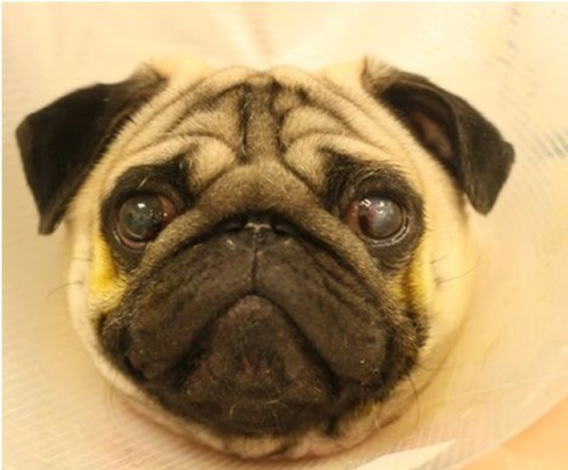 A 2 year old male Pug diagnosed and undergoing treatment for a corneal ulcer in his left eye.