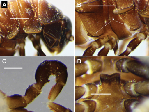 Brochopeltismediolocus sp. n. A–C male paratype, NTEIRC 63895 D male paratype ex NTEIRC 63897 A Right lateral view of anterior rings B right lateral view of pleural keels (k) on rings 4 and 5, anterior to right C right leg 1, anterior view D sternal lamella, posteroventral view. Scale bars: 1 mm (A, B); 0.5 mm (C, D).
