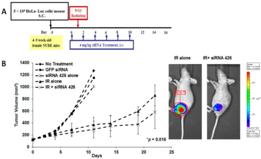 In vivo therapeutic effect of E6/E7-specific siRNAs in combination with radiation in human cervical cancer xenografted mice. (A) Treatment protocol; and (B) Luciferase activity was measured in live mice using the Luminescence Animal Imaging System, and tumor images were taken after 19 days. Untreated or control GFP-specific siRNA-treated mice served as controls. *p = 0.016 at Day 19, compared with γ-irradiation alone; and (C) H&E staining (×400), TP53 (×400) and TUNEL immunohistochemical (IHC) (×400) analysis on Day 25.