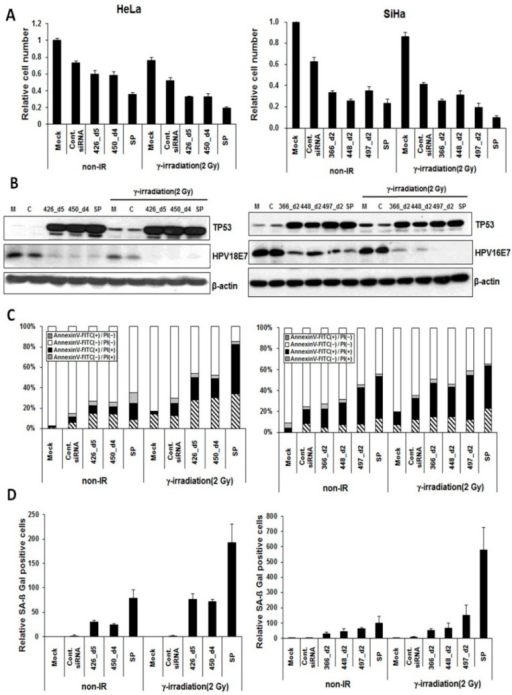 Synergistic effect of E6/E7-specific siRNA pools in combination with radiation on cervical cancer cells. HeLa cells were transfected with 20 nM of each selected siRNA derivative or siRNA pools (SP; 10 nM siRNA each) or in combination with γ-irradiation. Similarly, SiHa cells were transfected with 20 nM of each selected siRNA derivative or SP (7 nM siRNA each) or in combination with γ-irradiation. The number of cancer cells was determined by siRNAs alone (non-IR) or siRNAs in combination with γ-irradiation. Untransfected and control siRNA served as controls. (A) Trypan blue assay showing the number of viable cells transfected with siRNA pools, siRNA alone and in combination with γ-irradiation; (B) Western blotting analyses showing the expression of TP53 and HPV E7 proteins. M, mock; C, control siRNA; SP, siRNA pool; (C) Annexin-V and PI binding assay showing the percentages of apoptotic cells transfected with selected siRNA derivatives; and (D) The effect of HPV E6/E7-specific siRNAs on cellular senescence is also shown.