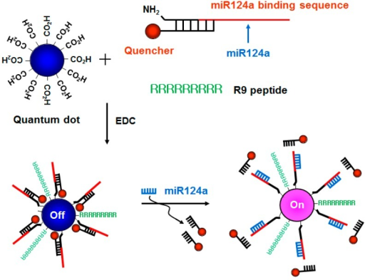 A schematic diagram of the R9-QD-miR124a beacons to image miR124a. The amine-terminated oligonucleotide containing the miR124a recognition sequence was annealed at the region with partial complementary sequences attached to the quencher molecules, which was designated as the miR124a-targeting oligomer. The carboxyl-terminated QD655 was conjugated with the miR124a-targeting oligomer and the R9 peptide. When the mature miR124a was hybridized with the miR124a binding region in the R9-QD-miR124a beacons, the quencher molecules were separated, resulting in an increase in the fluorescence signal.