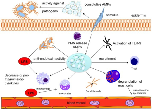 Antimicrobial peptides play a central role in innate and adaptive immunity. A given stimulus by bacteria leads to the release of constitutively expressed AMPs in different cells (here: epidermis). AMPs are released by neutrophils and will activate and recruit macrophages, monocytes, dendritic cells, and T-cells. A direct anti-endotoxin effect of AMPs may decrease the activation of immune cells and thus lead to a decrease in pro-inflammatory cytokine release. Modified from Ref. (26). AMPs, antimicrobial peptides; LPS, lipopolysaccharide; PMNs, neutrophils.