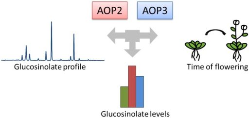 AOP2 and AOP3 have been associated with natural variation in different phenotypes. The GS-AOP locus encoding the glucosinolate biosynthetic enzymes AOP2 and AOP3 has been associated with variation in glucosinolate profiles due to their enzymatic activities. The same genes have been linked to changes in glucosinolate levels and onset of flowering in different natural variation studies.