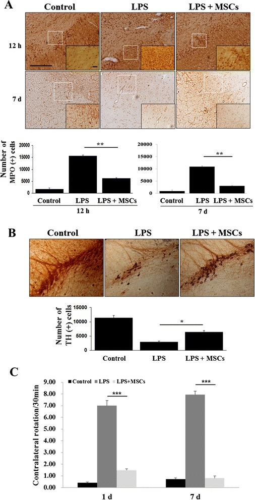 MSC treatment reduces LPS-induced neutrophil infiltration and loss of dopaminergic cells in the midbrain. There was a marked increase in MPO-positive cells in LPS-induced animals; however, MSC treatment following LPS administration notably decreased the number of these cells a (n = 5). **p <0.001. Scale bar: 100 μm. Consequently, MSC treatment inhibited LPS-induced loss of TH-positive cells in the midbrain b (n = 5). *p <0.05. Behavioral analysis showed that the number of rotations after apomorphine injection was significantly increased in animals receiving LPS compared with controls, whereas MSC administration led to a significant reduction of rotation behavior in LPS-treated animals c (n = 5). **p <0.001. Scale bar: 100 μm. LPS, lipopolysaccharide, MSC mesenchymal stem cell, MPO myeloperoxidase, TH tyrosine hydroxylase