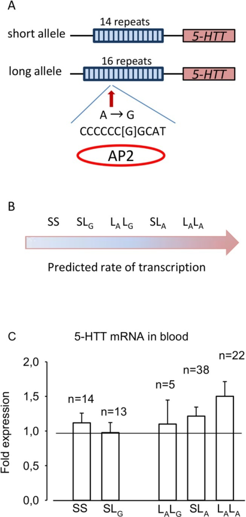 Role of polymorphisms in the 5-HTT promotor region.A) The 5-HTT short (S) allele consists of 14 repeats at 22 bp while the long (L) allele consists of 16 repeats and a possible A to G SNP. AP2 is a transcription inhibitor found to bind the sequence if a G substitution is present [5]. B) Five possible allele combinations ranged by their predicted rate of transcription. Frequency of the allele combinations in the Caucasian population: SS: 20%, SLG: 4%, LALG: 5%, SLA: 41% and LALA: 26% [6]. A: adenosine, G: guanosine, AP2: activating enhancer-binding protein. C) 5-HTT mRNA in blood in the CFS patients.