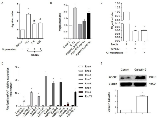 Galectin-9 enhances primary NK cell chemotaxis by increasing Rho family expression.Chemotaxis of primary NK cells in response to HT29 supernatants treated with galectin-9 siRNA(A) or varying concentrations of galectin-9(B). A migration index (MI) was used to account for the high amount of random migration that occurred in primary NK cells. IL-12 was used as a positive control for initiating chemotaxis primary NK cells. * P<0.05 vs. control. And # P<0.05 vs. NC. (C), Chemotaxis was inhibited by Rho and ROCK inhibitors primary NK cells. Primary NK cells were stimulated using medium alone for 4 h or medium containing Y27632 (20 μM) or C3 transferase (2 μg/mL) for 1.5 h. * P<0.05 vs. control. (D), The expression of RhoA, RhoB, RhoC, RhoF, RhoG, RhoH, RhoQ and RhoT1 mRNA using RT-PCR in primary NK cells that were incubated in the presence or absence of rhGalectin-9 at a concentration of 100 ng/mL for 4 h; * P<0.05 vs. control. (E), the expression of ROCK1 protein in primary NK cells that were incubated in the presence or absence of rhGalectin-9 at a concentration of 100 ng/mL for 24 h. Representative data are shown from at least 3 experiments.