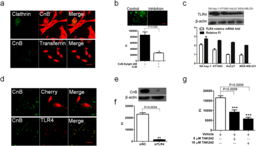 The uptake of exogenous CnB occurred via TLR4 receptor-mediated internalization.(a) Co-localization of rhodamine-labelled CnB with clathrin-GFP (upper panel) or CnB-GFP with rhodamine-labelled transferrin (lower panel) in SK-HEP-1 cells. The clathrin-GFP transfected cells were co-incubated with 5 μM CnB-rhodamine, or SK-HEP-1 cells were co-incubated with 5 μM CnB-GFP mixed with 5 μM rhodamine-labelled transferrin for 30 min, and visualized using a confocal laser scanning microscope (×63, scale bar 10 μm). (b) Free CnB inhibits the uptake of the fluorescently labelled CnB. The cells were co-incubated with excess CnB and DyLight 488-labeled CnB or labelled CnB alone for 30 min and visualized using an inverted fluorescence microscope (upper panel, scale bar 50 μm, 20×). The fluorescence intensity was quantified using a microplate reader (lower panel). (c) Positive correlation between CnB uptake and TLR4 expression. 5 × 105 cells from different cell lines were co-incubated with 5 μM CnB for 10 min, subjected to Trizol treatment and RNA extraction. Extracted mRNA was used for qPCR analysis of TLR4. The qPCR results were analyzed and compared with CnB-GFP uptake (lower panel). 5 × 106 cells from different cell lines were co-incubated with 5 μM CnB for 10 min and lysed with RIPA buffer, the samples were used for detecting the protein level of TLR4 by western blot analysis (upper panel). (d) Co-localization of exogenous CnB-GFP and TLR4-cherry. The TLR4-cherry- or cherry-transfected Hek293 cells were co-incubated with 5 μM CnB-GFP for 30 min, and visualized using a confocal laser scanning microscope (63×, scale bar 20 μm). (e,f) Effect of TLR4 knock down on CnB uptake. The influence of TLR4 knock down on CnB uptake was analysed by western blot analysis (e) or FI (f), (scale bar 50 μm, 20×). (g) TAK242 inhibited CnB uptake. The SK-HEP-1 cells were pre-incubated with 10 μM or 5 μM TAK242 or vehicle for 3 h, followed by co-incubation with CnB-GFP for 30 min. The co-incubated cells were washed, acid-stripped and quantified by a microplate reader. Bars represent mean ± s.e.m. from three independent experiments. *P < 0.05, **P < 0.01, ***P < 0.005 (t-test, two-tailed).