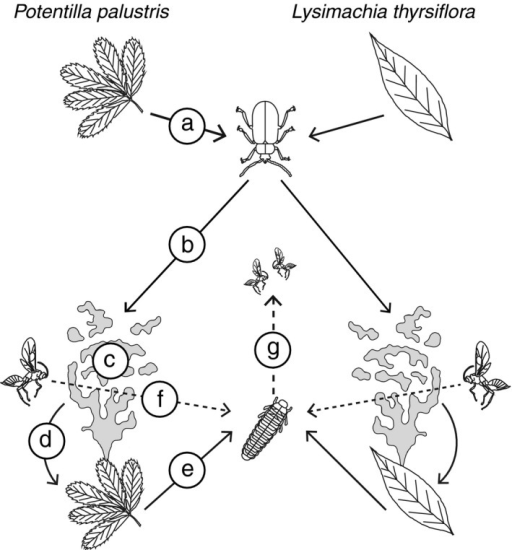Conceptual diagram illustrating the tritrophic interaction. For both Galerucella sagittariae (solid lines) and Asecodes lucens (dashed lines), we collected adults originating from Potentilla palustris and Lysimachia thyrsiflora (a—section 2.2). The behavioral components that were tested are as follows: (b—section 2.3) the olfactory preferences of G. sagittariae for both host plants; (c—section 2.4) antennal responses of G. sagittariae to headspace volatiles (gray odor plumes) of both host plants; (d—section 2.5) the oviposition preference of G. sagittariae on both host plants; (e—section 2.6) the performance of G. sagittariae larvae on both host plant species; (f—section 2.7) the olfactory preferences of A. lucens to larval‐ and host plant‐derived volatiles; (g—section 2.8) the performance of A. lucens on host larvae from both host plants. For both the preference and performance relationship of G. sagittariae and A. lucens, we performed a full factorial design in which both natal origin and current host were used as factors, but for simplicity we did not include all interactions in the diagram