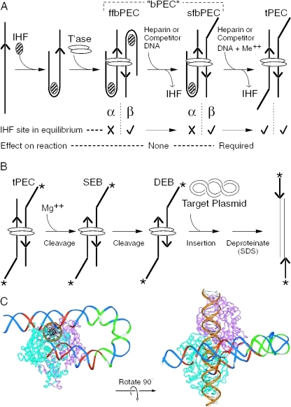 Assembly of the Tn10 transpososome and the chemical steps of the reaction. (A) Assembly and unfolding of the synaptic complex. Synapsis of two IHF-bound transposon arms by transposase produces an ffbPEC. Treatment with competitor DNA or heparin strips IHF from the β side of the complex to produce sfbPEC. IHF remains bound to the α side of the complex, presumably due to the subterminal transposase contacts with the transposon end. Divalent metal ion unlocks the IHF binding site on the α side of the complex. Dissociation of IHF produces the tPEC. Hatched oval, IHF; open ovals, transposase; and arrowhead, transposon end. In the tPEC, unoccupied IHF binding sites are indicated by a kink in the transposon end. (B) The chemical steps of the transposition reaction are illustrated using the tPEC as the starting point. In the presence of Mg++, the flanking DNA is cleaved to produce a SEB, followed by a DEB. Non-covalent interactions with a target site are followed by the strand transfer step that produces an insertion product. Asterisk, location of the 32P-label on the transposon end; other elements are as described in (A). (C) The Tn10 transpososome was modeled by superimposing the DNA from the IHF co-crystal structure onto the structure of the Tn5 transpososome (28,32,44,45). Superimposition of the IHF-folded DNA was achieved by minimizing the RMS difference in the position of the equivalent atoms in the Tn5 DNA. One transposon end, IHF and flanking DNA have been omitted for clarity. A section of B DNA (gold) has been docked in the target binding groove to illustrate its spatial relationship to the IHF-folded transposon arm. Regions of transposase and IHF mediated hydroxyl radical protection are shown in red and green, respectively. Every tenth nucleotide on the transferred strand is shown in white. The transposon end is seen embedded in the turquoise monomer of transposase. The subterminal transposase contacts are located on the top of the structure illustrated on the left.