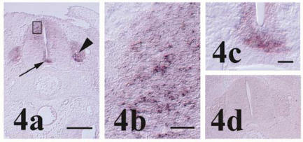 Pcdh-γ in the stage 27 spinal cord. (a) Localization of pcdh-γ transcripts in the dorsal horn, floorplate (arrow) and dorsal root ganglion (arrowhead). Staining of interneurons in the developing dorsal horn (boxed area) is shown in higher magnification in (b). Higher magnification image of floorplate pcdh-γ expression is shown in (c). (d) Section incubated with control probe shows lack of signal in spinal cord and dorsal root ganglia. Scale bars = 250 μm for panels 4a & d, 25 μm for 4b and 50 μm for 4c.