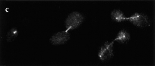 Subcellular localization of Duo1p. To demonstrate antibody specificity, a shows an immunoblot in which a yeast whole cell extract was probed with the Duo1p antiserum. A log phase culture of wild-type strain DDY898 was fixed and stained with antibodies  against tubulin (b), Duo1p (c), and with DAPI to visualize DNA (d). The Duo1p localization by immunofluorescence was confirmed by  localization of GFP–Duo1p (not shown). (e) A longitudinal EM section through a mitotic spindle, passing through one of the spindle  pole bodies (S) and showing numerous spindle microtubules. Duo1p localization is shown by the 10-nm gold particles that appear to associate primarily with microtubules. Bars: (b–d) 5 μm; (e) 0.2 μm.
