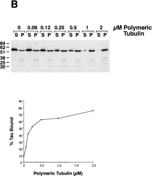 Dam1p cosediments with microtubules.  Different concentrations of  taxol-stabilized microtubules  were mixed with radio- labeled Dam1p or tau in  vitro–translation products.  The reactions were then centrifuged at high speeds to pellet the microtubules. The percentage of Dam1p and tau  that copelleted with the microtubules in each reaction  was determined by fractionating the pellets and supernatants on SDS-PAGE gels and  quantitating levels by autoradiography and densitometry.  (See text for discussion of  three bands resulting when  Dam1p is produced by translation in vitro.)