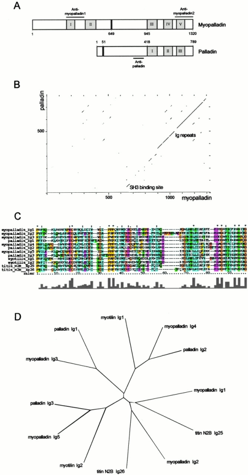 Myopalladin is a novel 145-kD protein with homology to palladin. (A) Comparison of the domain architecture of myopalladin and the recently described palladin protein (Parast and Otey 2000). The Ig-I repeats are shown in gray, the unique sequences are shown in white, and the proline-rich PPP motif regions are shown in black. The bars above the myopalladin and below the palladin schematics indicate the recombinant fragments of the proteins that were used as antigens to generate specific antibodies (see Fig. 7 for the characterization of the antibodies). (B) Dot plot matrix sequence comparison of myopalladin and palladin. The regions of myopalladin and palladin that bind to the nebulin SH3 domain and to α-actinin are the most conserved regions between the two proteins. (C) Peptide sequence alignment of myopalladin's five Ig-I domains and comparison with Ig-I domains from myotilin (EMBL/GenBank/DDBJ accession number AF144477), titin N2B (accession number X90568), and palladin (accession number AB023209). All sequences are from humans. Identical residues are indicated by asterisks. (D) Phylogenetic tree based on the comparison of myopalladin's Ig-I repeats and the most related Ig-I repeats from myotilin, titin, and palladin.