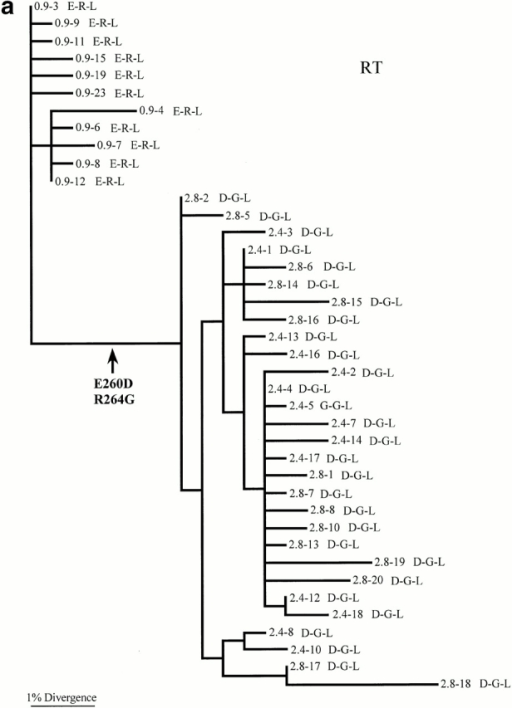 Maximum likelihood phylogenetic trees depicting the evolutionary relationships of viruses from patients (a) RT, (b) 007, and (c) 777. The tree is unrooted but the direction of mutations can be inferred by assuming that the oldest sampled sequences are ancestral. All branch lengths are drawn to scale. The labels on each branch correspond to the time point at which the viral sample was taken (years after diagnosis), followed by the amino acid (single letter code) found at positions 260, 264, and 268, respectively. The positions of all putative changes involving amino acids E to D at position 260, R and K at position 264, and M to L at position 268 are indicated with arrows. Note that designation of amino acid changes is difficult inpatients 007 and 777 because viruses from the first sampling time point do not form a single group and are dispersed across the phylogeny. Genbank accession numbers for sequences used to construct phylogenetic trees are available from Genbank/EMBL/DDBJ under accession nos. RT, AF319258, AF319259, AF319260, AF319261, AF319262, AF319263, AF319264, AF319265, AF319266, AF319267, AF319268, AF319269, AF319270, AF319271, AF319272, AF319273, AF319274, AF319275, AF319276, AF319277, AF319278, AF319279, AF319280, AF319281, AF319282, AF319283, AF319284, AF319285, AF319286, AF319287, AF319288, AF319289, AF319290, AF319291, AF319292, AF319293, AF319294, AF319295, AF319296, AF319297, AF319298, AF319299, AF319300, AF319301, AF319302, AF319303, AF319304, AF319305, AF319306, AF319307, AF319308, AF319309, AF319310; 007, AF319174, AF319175, AF319176, AF319177, AF319178, AF319179, AF319180, AF319181, AF319182, AF319183, AF319184, AF319185, AF319186, AF319187, AF319188, AF319189, AF319190, AF319191, AF319192, AF319193, AF319194, AF319195, AF319196, AF319197, AF319198, AF319199, AF319200, AF319201, AF319202, AF319203, AF319204, AF319205, AF319206, AF319207, AF319208, AF319209, AF319210, AF319211, AF319212, AF319213, AF319214, AF319215, AF319216, AF319217, AF319218, AF319219, AF319220, AF319221, AF319222, AF319223, AF319224, AF319225, AF319226, AF319227, AF319228, AF319229, AF319230, AF319231, AF319232, AF319233, AF319234, AF319235, AF319236, AF319237, AF319238, AF319239, AF319240, AF319241, AF319242, AF319243, AF319244, AF319245, AF319246, AF319247, AF319248, AF319249, AF319250, AF319251, AF319252, AF319253, AF319254, AF319255, AF319256, AF319257; and 777, AF319311, AF319312, AF319313, AF319314, AF319315, AF319316, AF319317, AF319318, AF319319, AF319320, AF319321, AF319322, AF319323, AF319324, AF319325, AF319326, AF319327, AF319328, AF319329, AF319330, AF319331, AF319332, AF319333, AF319334, AF319335, AF319336, AF319337, AF319338, AF319339, AF319340, AF319341, AF319342, AF319343, AF319344, AF319345, AF319346, AF319347, AF319348, AF319349, AF319350, AF319351, AF319352, AF319353, AF319354, AF319355, AF319356, AF319357, AF319358, AF319359, AF319360, AF319361, AF319362, AF319363, AF319364, AF319365, AF319366, AF319367, AF319368, AF319369, AF319370, AF319371, AF319372, AF319373, AF319374, AF319375, AF319376, AF319377, AF319378, AF319379, AF319380, AF319381, AF319382, AF319383, AF319384, AF319385, AF319386, AF319387, AF319388, AF319389, AF319390, AF319391, AF319392, AF319393, AF319394, AF319395, AF319396.
