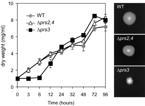 Growth pattern of Δprs2,4 and Δprs3 mutant strains. Left, A. gossypii wild-type and prs mutant strains were grown in liquid MA2 rich medium. At the indicated time-points, mycelia were harvested and weighed. Data are represented as an average of mycelium dry-weight per volume of culture. Error bars represent SD. Right, colony photographs of the wild-type, Δprs2,4 and Δprs3 strains grown on solid MA2 rich medium during 48 hours.
