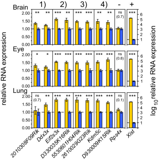 Female-biased expression of pairs of coding and non-coding X-linked genes is validated by quantitative RT-PCR. The RNA expression of co-localized pairs of coding and non-coding genes in three tissues, normalized to Actb and Gapdh is shown. Brain (n = 19 females, 19 males), Eye (n = 16 females, 16 males) and Lung (n= 16 females, 16 males). The X-inactivated gene Rps4x is used as a negative control, while Xist is taken as a female-specific control. The heights of the bars represent mean female expression (yellow bars) as relative to mean male expression (blue bars). Error bars signify +/- standard error of the mean. p-values: * ≤ 0.05, ** ≤ 0.01, *** ≤ 0.001 (two-sided unequal variance t-test), ns: not significant, non-significant p-values are given within brackets. The numbers 1-4 above the figure correspond to the four female-biased clusters in Figure 3.