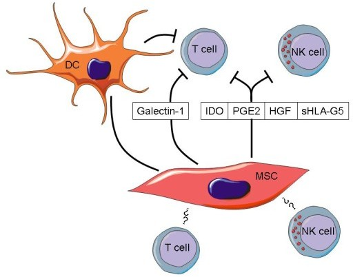 MSC mediate immunosuppression of T and NK cells via different mechanisms . Soluble factors secreted by MSC such as iNOS, IDO, PGE2, sHLA-G5 can suppress T- and NK cell functions, whereas galectin-1 inhibits T cells but not NK cells. In addition, MSC can indirectly mediate immunosuppression by inhibiting dendritic cells and inducing the expansion of regulatory T cells (Tregs). Furthermore, MSC can directly interact with T and NK cells via cell to cell contact. However, receptors and ligands involved in the cell contact-dependent interaction mechanisms are still largely unknown.