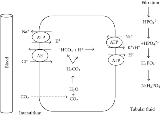 Titration of nonvolatile acids. H+ secreted into the tubular fluid combines with phosphate (urinary buffer), and a new −HCO3 is generated within the cell.