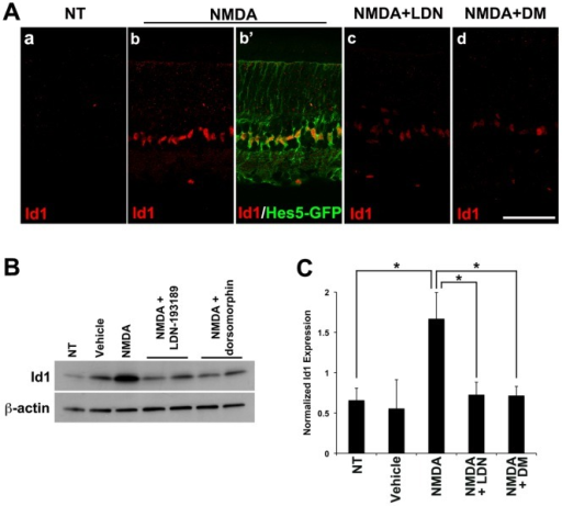 NMDA damage induces expression of Id1, a known target of BMP-Smad1/5/8 signaling.A. Representative images from at least 3 animals per treatment are shown. Injection of 100 mM NMDA induced Id1 expression (red) in Hes5-GFP+ Müller cells (green). Id1 expression was blocked by coinjection of BMP inhibitors, LDN-193189 (LDN) or dorsomorphin (DM). Scale bar: 50 µm. B. Representative Western blot showing the level of Id1 expression 2 days after injection of the indicated factors. C. Quantification of the Western blots. More than a 2 fold increase in Id1 expression was observed after NMDA damage, and this increase was blocked effectively by LDN or DM. The level of Id1 expression was normalized to beta-actin. *p<0.05 (t-test; n = 3 retinas).