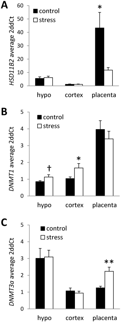 Tissue-specific expression of HSD11B2 and DNMTs in offspring exposed to prenatal stress.Average (mean ± SEM) mRNA levels of (A) HSD11B2, (B) DNMT1, and (C) DNMT3a in hypothalamus (HYPO), cortex, and placenta in control offspring and offspring exposed to prenatal stress. Relative gene expression levels were determined by the 2ddCT method using cyclophilin-A and beta-actin as internal standards. Relative expression was normalized to control (non-stress) cortex samples. (n = 8/group; † p<0.1; *p<0.05, **p<0.01).