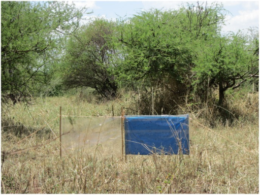 Blue cotton target with adhesive film and adjoining adhesive film target in Serengeti tsetse habitat.