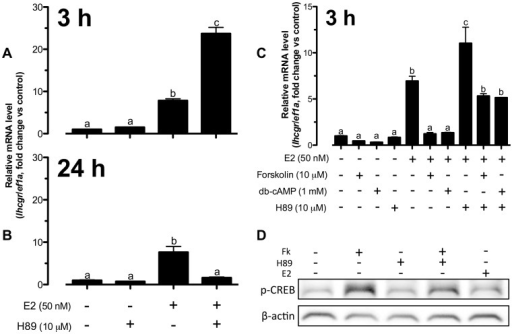 E2-induced lhcgr expression was dependent on cAMP-PKA without direct PKA activation in zebrafish follicle cells.(A–C) The cells were pretreated with H89 (10 µM) for 15 min followed by treatment with E2 (50 nM), forskolin (10 µM) and db-cAMP (1 mM) for 3 h or 24 h before the end of the 24-h treatment period. The data were expressed as fold change compared to the control group after normalization to the expression of ef1a. Different letters in each data set indicated statistical significance (P<0.05; mean ± SEM, n = 3–6). (D) The cells were pretreated with H89 (10 µM) for 15 min followed by treatment with E2 (50 nM) and forskolin (10 µM) for 30 min before the end of the 24-h treatment period. Cells were lyzed in SDS sample buffer for Western blot analysis of phospho-CREB (p-CREB) and β-actin expression.