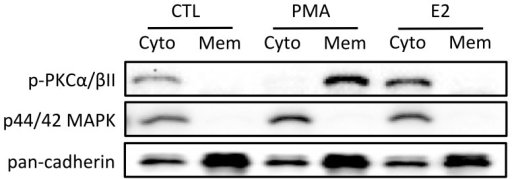 E2 could not directly activate PKC in zebrafish cultured follicle cells.The cells were treated with PKC activator, PMA (100 nM) or E2 (50 nM) for 20 min before the end of the 24-h treatment period. The treated cells were fractionated into cytosol (Cyto) and membrane (Mem) protein fractions followed by SDS-PAGE and Western blot analysis against phospho-PKCα/βII (p-PKCα/βII), p44/42 MAPK (cytosol marker) and pan-cadherin (membrane marker).