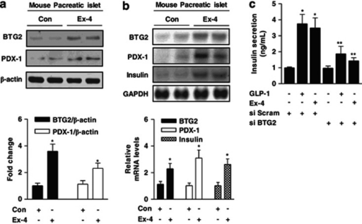 Ex-4 increases insulin gene expression via BTG2 induction. (a and b) C57BL/6 mice were injected intraperitoneally with Ex-4 (20 μg kg−1 of body weight) for 7 days, and pancreatic islets were obtained for protein extracts to perform western blot analysis with various antibodies (a) and total RNA isolation for northern blot analysis using BTG2, PDX-1 and insulin probes (b). Protein and mRNA expression were normalized to β-actin and glyceraldehyde 3-phosphate dehydrogenase (GAPDH) level, respectively. (c) Pancreatic islets were transfected with BTG2 siRNA (si BTG2) and Scrambled siRNA (si Scram) for 36 h. After knockdown for 36 h, insulin secretion was performed from pancreatic islets and treated with or without GLP-1 (10 nℳ) and Ex-4 (100 nℳ) using a radioimmunoassay kit. All mice were separated into experimental groups (n=4–6 mice per group). *P<0.05 and **P<0.05 compared with untreated control and GLP-1- and Ex-4-treated cells.