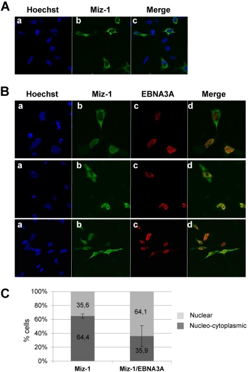 EBNA3A relocalizes MIZ-1 into the nucleus. Expression plasmids for Flag-MIZ-1 alone (A) or Flag-MIZ-1 together with Myc-EBNA3A were transfected into HeLa cells (B and C). Proteins were visualized by indirect immunofluorescence using an anti-Flag polyclonal Ab (for detection of MIZ-1) (panels b) and an anti-tag Myc polyclonal Ab (for detection of EBNA3A) (panels c). A Fluorolink Cy3-labeled goat anti-mouse IgG (H + L) antibody and an Alexa Fluor 488 goat anti-rabbit antibody were used as secondary antibodies respectively. Cell nuclei were stained with Hoechst 33258 (Sigma) (panels a). (C) Quantification of the number of cells in which MIZ-1 is strictly nuclear versus cytoplasmic/nucleo-cytoplasmic in cells transfected with an expression vector for MIZ-1 or in cells co-transfected with expression vectors for MIZ-1 and EBNA3A. In the latter case, only cells co-expressing EBNA3A together with MIZ-1 are taken into consideration. The results are the combination of two different experiments in which 1333 cells altogether were observed.
