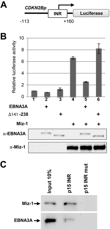 EBNA3A activates the CDKN2B minimal promoter and specifically binds the INR in association with MIZ-1. (A) Schematic representation of the CDKN2Bp Luciferase reporter construct. The Firefly luciferase reporter gene was placed under the control of a −113/+160 bp fragment from the human CDKN2B promoter. INR: Initiator element. The arrow indicates the start of the transcription. (B) EBNA3A activates the CDKN2B minimal promoter. The CDKN2Bp-Luc construct was transfected into HeLa cells, together with a CMV-renilla LUC plasmid as internal control and expression plasmids for EBNA3A or EBNA3A Δ141–238 and MIZ-1 as indicated in the figure. Results are plotted relative to the co-transfected CMV-renilla-LUC plasmid. Error bars represent standard deviations from three replicate assays. Protein expression levels were controled by western blotting using an anti-EBNA3A or an anti-MIZ-1 antibody for one representative experiment (bottom panel). (C) EBNA3A in association with MIZ-1 binds an oligonucleotide carrying the INR sequence. Whole LCLwt extracts were subjected to precipitation, using the CDKN2B promoter oligonucleotide—or a mutated control oligonucleotide that does not bind MIZ-1—and examined for the indicated proteins.