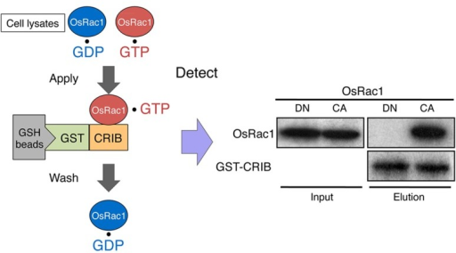 In vivo monitoring of Rac/Rop activation using a GST-CRIB pull-down assay. The CRIB domain of PAK has a high affinity for the active GTP-bound form of Rac/Rop. PAK-CRIB-binding to Rac/Rop suppresses the intrinsic and catalytic rates of GTP hydrolysis of Rac/Rop that make it possible to purify the active constitutively active (CA) form but not the inactive dominant negative (DN) form of OsRac1 from cell lysates (Kawano et al., 2010a). A figure from Kawano et al. (2010a) was adapted for Figure 6.