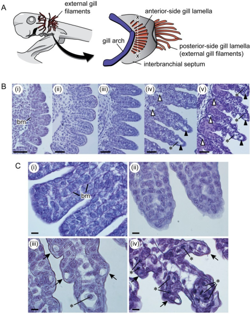 Development of anterior-side gill lamellae.A. Lateral v | Open-i