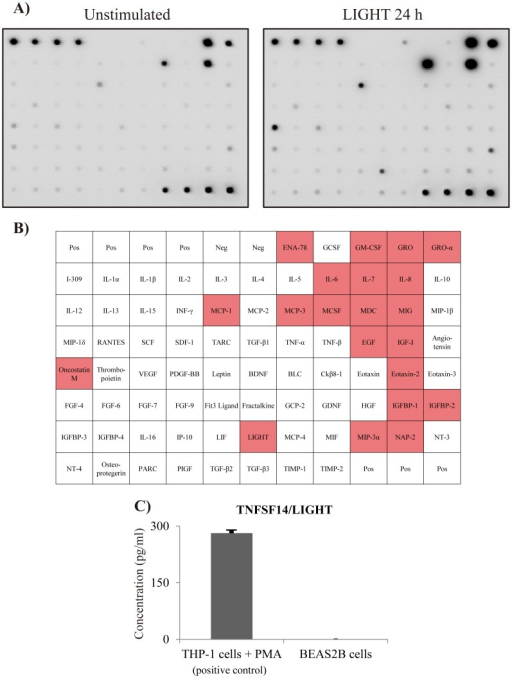 Comprehensive analysis of LIGHT-induced cytokine and chemokine production.BEAS-2B cells were stimulated with LIGHT (100 ng/ml) for 24 h, followed by determination of the protein levels of cytokines and chemokines by densitometry using a cytokine array. (A) The left image shows the unstimulated samples, while the right image shows the samples at 24 h after stimulation with LIGHT. (B) This table shows array mapping. The red color indicates cytokines that were upregulated more than twofold compared to the unstimulated sample. LIGHT induced inflammatory cytokines, such as GRO, GRO-α, oncostatin M, MCP-1, IL-6 and IL-8. (C) We investigated whether BEAS-2B cells produced LIGHT. THP-1 cells, which were used as a positive control, produced LIGHT when stimulated with PMA 50 ng/ml, but BEAS-2B cells did not.