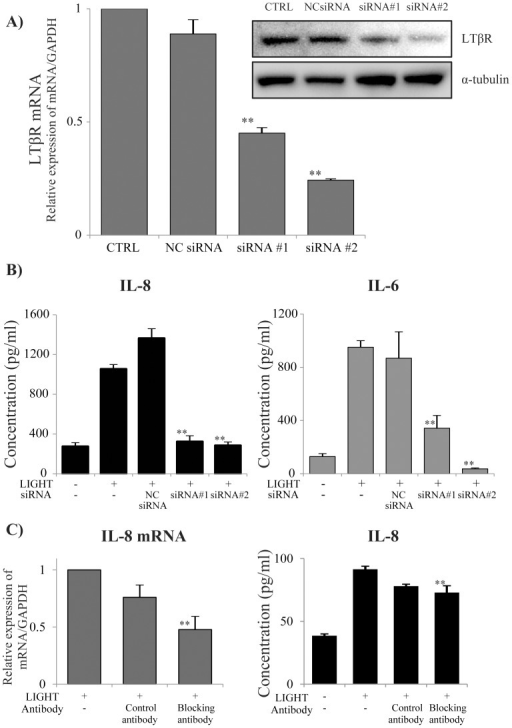 Effect of LTβR siRNA on IL-8 production by BEAS-2B cells.BEAS-2B cells were transfected with LTβR siRNA to knock down the receptor. (A) We purchased two types of siRNA (#1 and #2) and transfected them into BEAS-2B cells. We evaluated the knockdown efficacy of each siRNA 72 h later by qRT-PCR and western blotting. Lipofectamine reagent and the negative control siRNA (NC siRNA) did not affect LTβR mRNA expression, but siRNA#1 and #2 both significantly inhibited LTβR mRNA. (B) BEAS-2B cells were transfected with siRNA, and 72 h later they were stimulated with 50 ng/ml LIGHT. The IL-8 and IL-6 concentrations in the cell supernatants were determined by ELISA 24 h after stimulation. Both siRNA#1 and siRNA#2 significantly inhibited IL-8 and IL-6 production by BEAS-2B cells. n = 4 separate experiments. **: p<0.01. (C) BEAS-2B cells were pre-incubated with LTβR blocking antibody before stimulation with 50 ng/ml LIGHT. The blocking antibody for LTβR significantly attenuated both IL-8 mRNA expression and IL-8 production. n = 3 separate experiments. **: p<0.01.