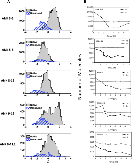Effects of Urea on the FRET Z Parameter Histograms of the Labeled Wild-Type D34 and Variants(A) FRET Z parameter histograms are shown in the absence of urea (gray) and in the presence of 7 M urea (blue). The full urea titrations are shown in Figure S6.(B) The number of molecules as measured by smFRET using single (blue) laser excitation (1c) and TCCD using dual laser (blue and red) excitation (2c) are plotted as a function of urea concentration.